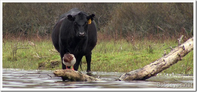 cowduck
