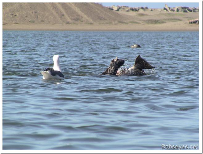 sealbird