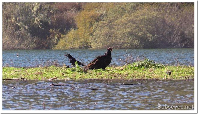 vulturecrow