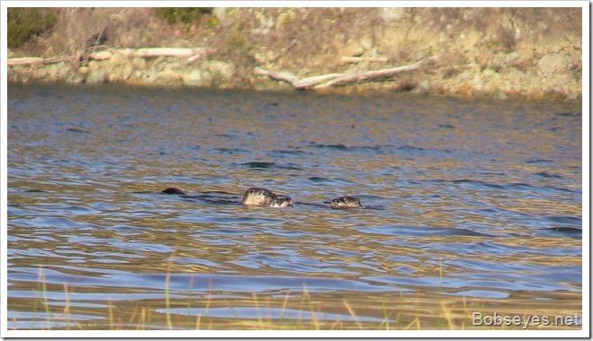 otters_thumb1