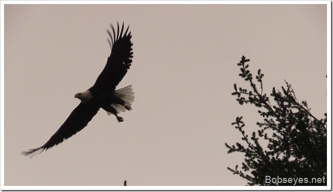 eaglefly