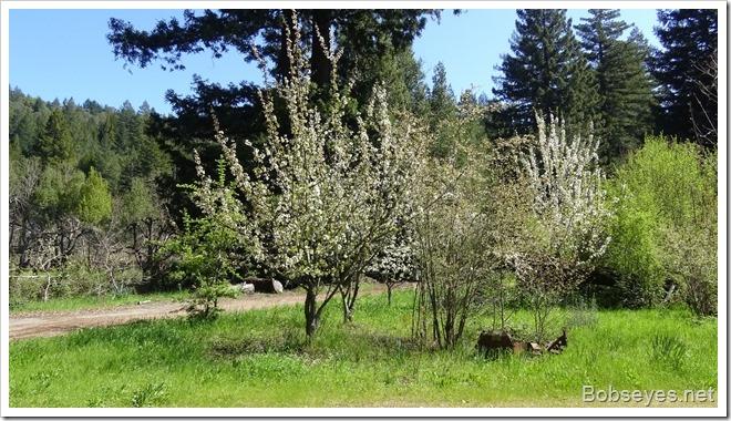 cherrytrees