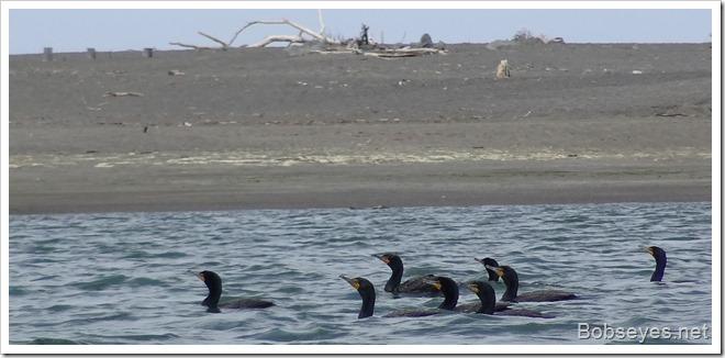 cormorantgs