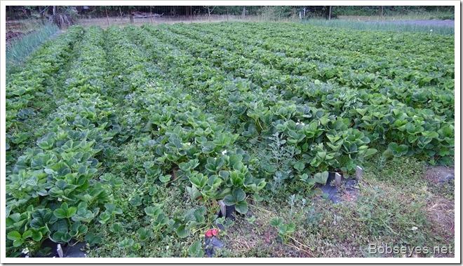 berryplants
