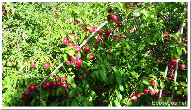 plums2