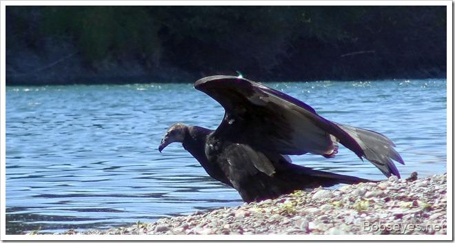 bigbird