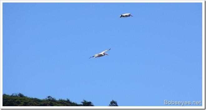 pelicansfly
