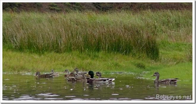 duckeys